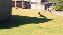 Young stag 'on the loose' at school