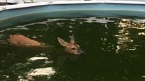 Deer rescued from swimming pool