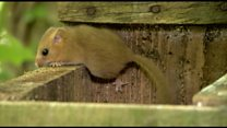 Rodent release for dormice survival