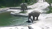 Слони кинулись в басейн до своєї крихітки