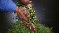 The British gardener who sells tea to China