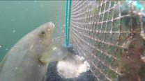 Concerns over salmon farm threat to wrasse