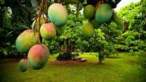 ما معنى عبارة Great Mango Divide؟