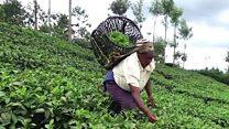 الجفاف يضرب محاصيل الشاي في كينيا