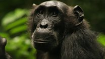 Scientists affect chimp hunting habits
