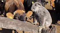 Koala 'diambang kepunahan' karena digigit sapi dan kuda