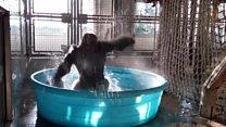 Splish splash spinning gorilla