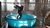 Цей горила - танцюрист