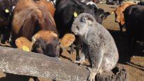โคอาลาเสี่ยงสูญพันธุ์ในบางรัฐของออสเตรเลีย