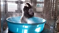 'Gorila dançarino' impressiona com movimentos em piscina