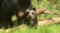 First Andean bear to be born in Britain has emerged from its den