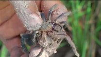 'แมงมุมยักษ์ทอด' เมนูพิสดารในกัมพูชา