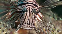 Why lionfish are being hunted by robots
