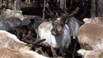 تغییرات اقلیمی، دامن شکارچیان گوزن شمالی را گرفت