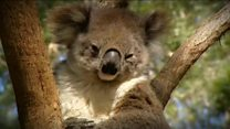Koala numbers fall in the wild