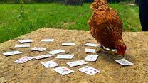 'Magic' chickens show off tricks