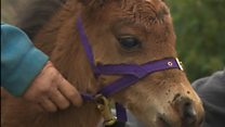 Miniature horse turned guide dog