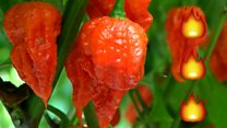 World's hottest chilli grown in UK