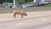Hogs on road cause Texas rush-hour chaos