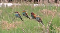 'Exotic' bee-eaters caught on camera