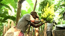 Cultivating Angola's banana crop