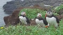Why are Puffin numbers so low?