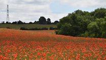 Poppy paradise