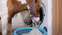 Мини-лошадь учат быть поводырем