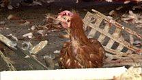 دجاج على الطريق السريع