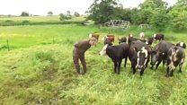 Kesim için inek yetiştiren bir çiftlik, bir vejetaryene miras kalırsa...