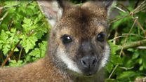 Escaped wallaby spotted again
