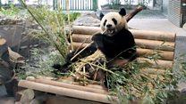 大熊猫——中国最萌的外交官?