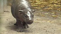 Baby pygmy hippo takes a tumble