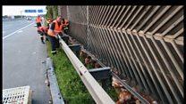 मुर्गियों ने किया ट्रैफ़िक जाम