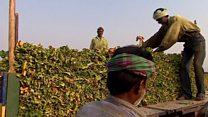 စိန်ခေါ်မှုတွေနဲ့ အိန္ဒိယ ဆေးရွက်ကြီးစီးပွား