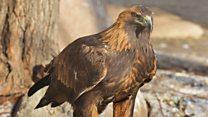 Top tips for spotting a golden eagle