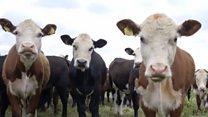 Фермер-вегетеріанець відпустив корів