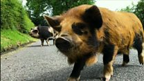 Pig-walking days out in the Beacons