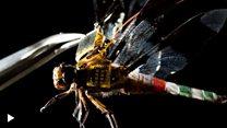 Capung hidup dijadikan drone untuk membantu tim SAR
