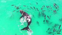El inolvidable momento de una ballena jugando con delfines