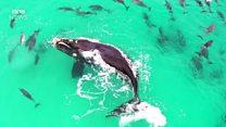 Drone flagra baleia 'brincando' com grupo de golfinhos
