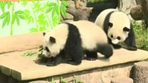Check out these partying pandas!