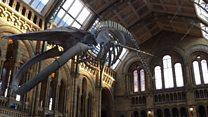 """""""โฮป"""" ดาวเด่นดวงใหม่ของพิพิธภัณฑ์ประวัติศาสตร์ธรรมชาติลอนดอน"""
