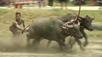 Buffalo race in mud-filled spectacle
