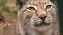 Will lynx return to the UK?