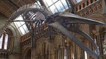 لندن کے نیچرل ہسٹری میوزیم میں بلیو وہیل کا ڈھانچہ