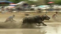 Шалені перегони в багнюці: чиї буйволи прудкіші?