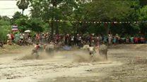 Буйволиные бега в Таиланде: как фермеры возрождают традиции