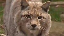 برطانوی جنگل میں جنگلی بلوں کی واپسی کا منصوبہ