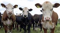 Aprende inglés: El ganadero vegetariano que salvó a sus vacas del matadero